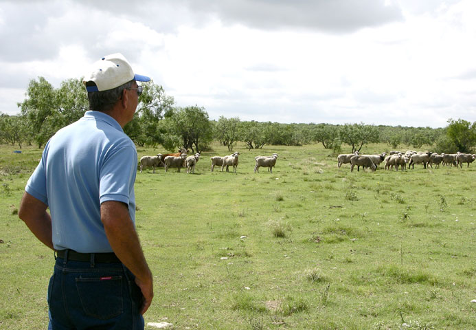 Modern-day shepherd Glen Fisher keeps a watchful eye on his flock.  Photos courtesy of the American Sheep Industry Association.