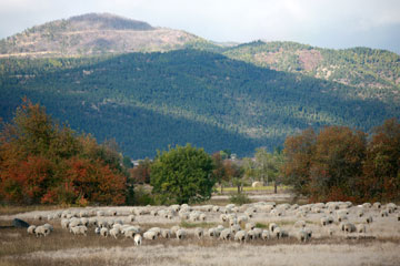 A large flock of sheep are pictured against hills in southwest Texas.