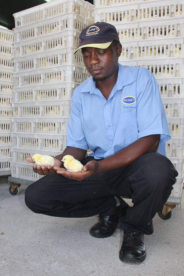 An Irvine employee holds chicks that will be shipped to customers who are establishing poultry production businesses.  Edwin Mgonyamo, an Africa University graduate, travels around the continent helping customers set up poultry businesses. Photo by Vicki Brown, UMNS