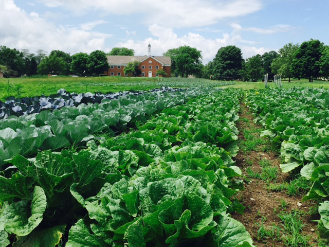 Rows of green lettuces and vegetable at Seminary Hill Farm at Methodist Theological School in Columbus, Ohio. Photo by Reasa Currier.