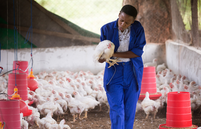 Agatha Muagura speaks softly to the chicken she has selected to slaughter as part of a training exercise at the Africa University farm in Mutare, Zimbabwe. Muagura, a freshman agriculture student from Mozambique, wants to be a farmer. Photo by Mike DuBose, UMNS.