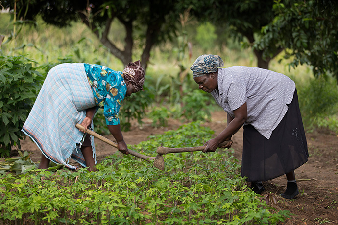 Sarudzai Mkachana (left) and Regina Mavuko tend chaya plants in Chivi, Zimbabwe. The plant contains twice the protein, iron and calcium of spinach and six times Vitamin A of spinach. Photo by Mike DuBose, UMNS.