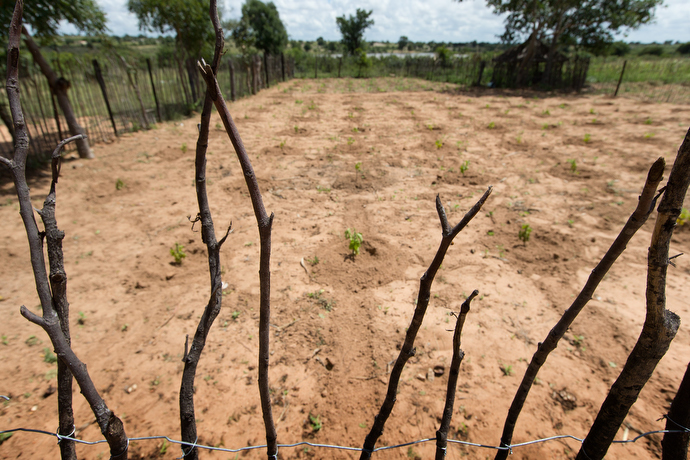 Chaya seedlings grow behind a rough fence in Chivi, one of Zimbabwe's driest areas. The plants are prized for their drought resistance. Photo by Mike DuBose, UMNS.