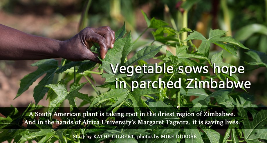 Chaya plants are thriving in Chivi, Zimbabwe. The shrub, commonly known as tree spinach, contains twice the protein, iron and calcium of spinach and six times Vitamin A of spinach. Africa University launched the Chaya Plant Project in Chivi, one of Zimbabwe's driest areas, with hopes to improve public health in Africa. Story by Kathy L. Gilbert, photo by Mike DuBose, UMNS.