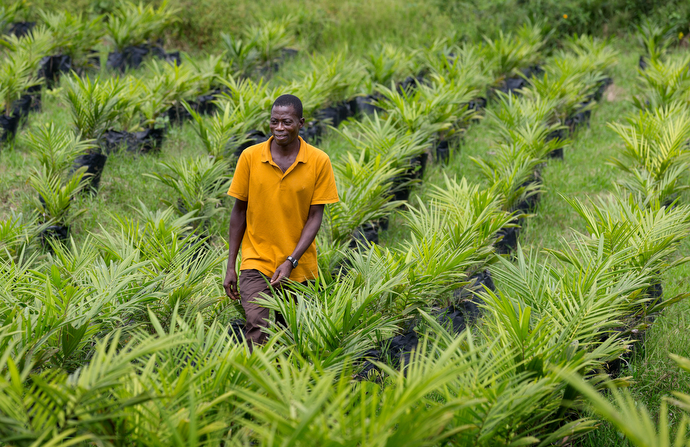 """Peter Gomah checks on the health of seedlings in the oil palm nursery at the United Methodist Ganta Mission Station in Ganta, Liberia. """"Palm is a great crop because nothing goes to waste,"""" Gomah said. """"The nuts are roasted and pressed for oil. The leftover chaff is used as feed, burned to boil the oil for cooking or mixed with manure to fertilize crops."""" Photo by Mike DuBose, UMNS."""