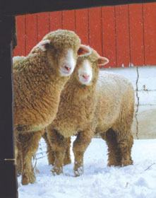 The faces of two ewes are framed in portraiture in a doorway.