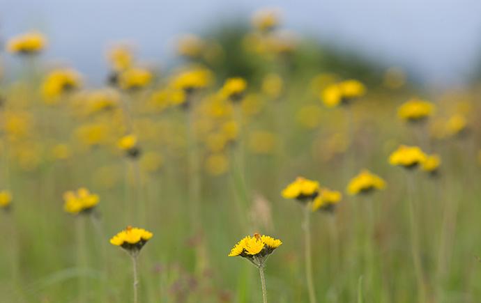 Meadow hawkweed blooms in an open field at Chestnut Ridge on the Appalachian Trail near Burkes Garden, Va. Photo by Mike DuBose, UMNS.
