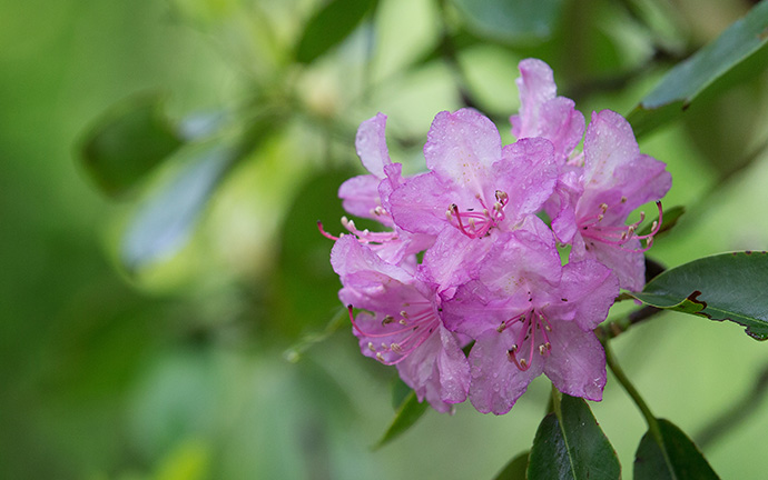 Rhododendron blooms along the Appalachian Trail near Burkes Garden, Va. Photo by Mike DuBose, UMNS.