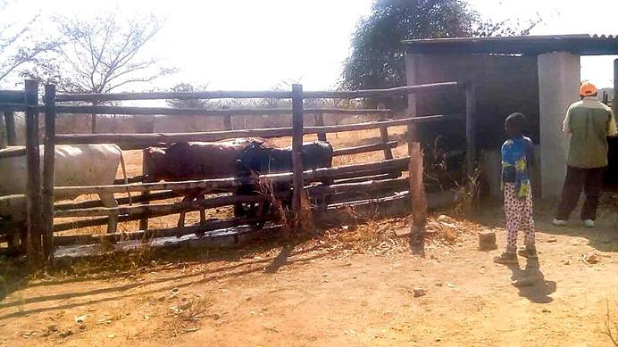 A cattle dip tank in the village of Nyamacheni, built with funding from Norwegian United Methodists, is saving cattle in Gokwe, Zimbabwe. A dip tank is a plunge bath designed to immerse livestock in water with pesticides in order to kill ticks. Photo by Everisto Gumbo.