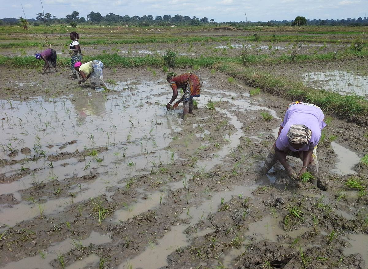 Women work in a rice field as part of a farming project in the Côte d'Ivoire Episcopal Area. The project is supported by UMCOR and encouraged by Bishop Benjamin Boni.  Photo courtesy Yves Dirabou.
