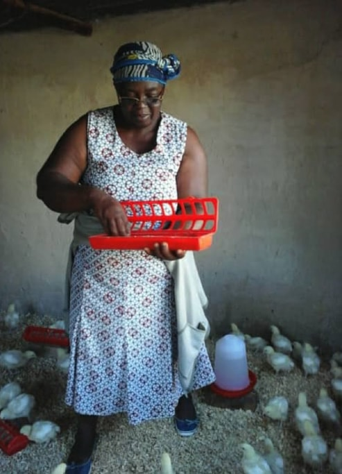 Irene Chitere tends to baby chicks in Marange, Zimbabwe. Fifty women and girls received chicks as part of an UMCOR-funded farming project. Photo by Kudzai Chingwe, UMNS.