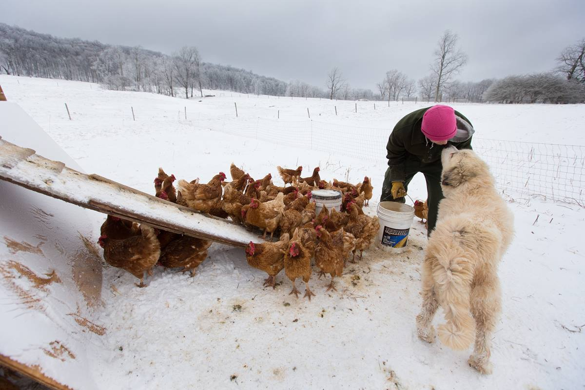 Andy, a recovering addict, gets a smooch from guard dog Tundra while feeding chickens at Brookside Farm, part of the Jacob's Ladder rehabilitation program in Aurora, W.Va.