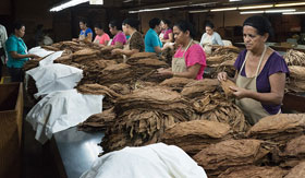 Most of the employees at the Tabacos de Oriente cigar factory in Danlí, Honduras, are women. After the tobacco leaves are cured, they are sorted by color and size.