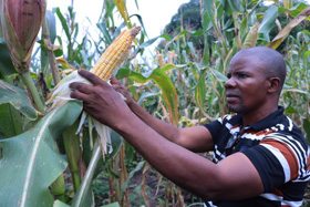 Mwinyi Taluhumbu, president of United Methodist Men in Eastern Congo, checks the corn in a field cultivated by the men's group. The crop is providing cornmeal for pastors from United Methodist urban churches who are struggling amid the coronavirus confinement. Photo by Chadrack Tambwe Londe, UM News.