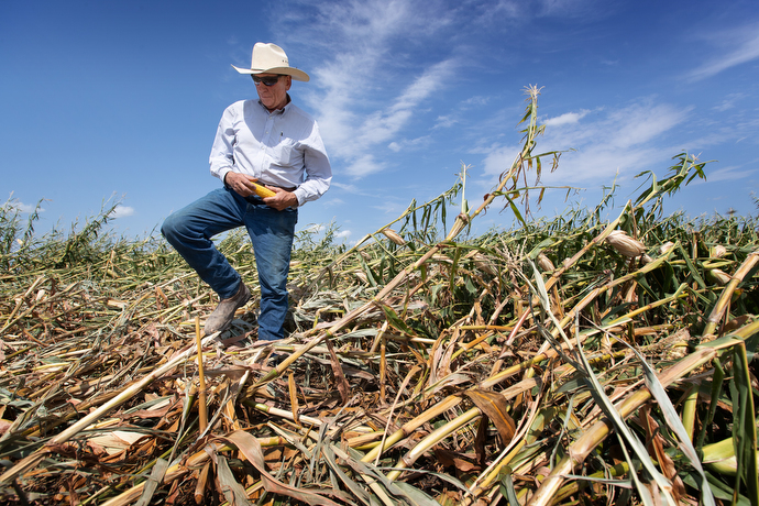 Wayne Blackford surveys the damage to his corn crop caused by a derecho at his farm near Marion, Iowa. Blackford is lay leader of Prairie Chapel United Methodist Church in Marion. Photo by Mike DuBose, UM News.