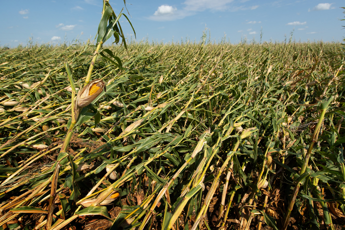 The corn crop at Wayne Blackford's farm near Marion, Iowa, lies flattened in the field following an Aug. 10 derecho. The downed corn will be more difficult to harvest and is susceptible to rot caused by rainwater. Photo by Mike DuBose, UM News.
