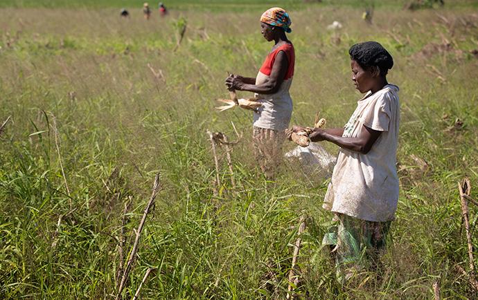 Isabel João (à droite) et Maria Lidia António récupèrent ce qu'elles peuvent de leur récolte de maïs, qui a été tuée avant qu'elle ne mûrisse lorsque leur champ a été inondé par le cyclone Idai à Búzi, au Mozambique, en 2019. Photo de fichier par Mike DuBose, UM News.