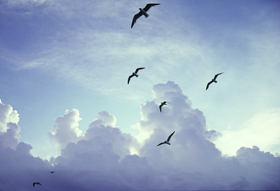 Gulls fly across a cloudy sky. Photo by Mike DuBose, UM News.