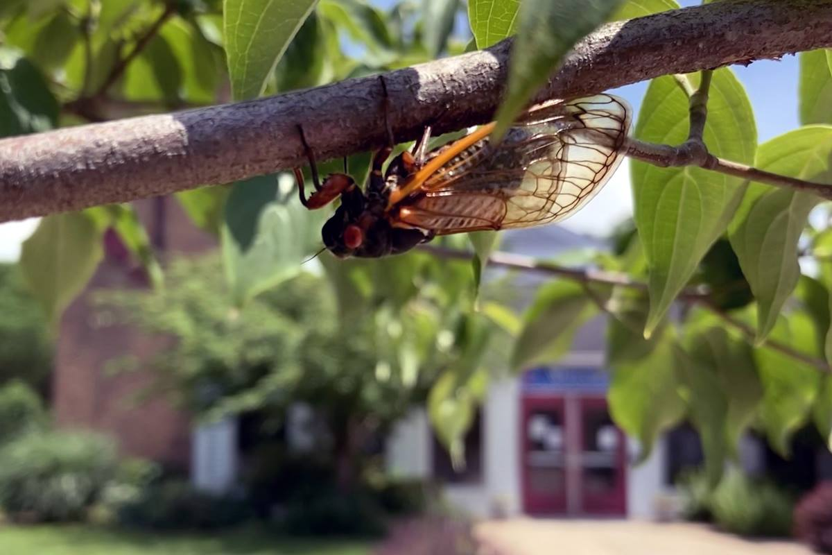 Brood X cicadas are currently a common sight and sound on the grounds of Trinity United Methodist Church, in Germantown, Maryland. The church is in the background. Photo courtesy of the Rev. Bonnie Scott.
