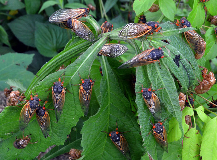 By the billions, Brood X cicadas have emerged in recent weeks in 15 states and the District of Columbia, disrupting various actives including outdoor worship services. Photo courtesy of  Professor Gene Kritsky, Mount St. Joseph University.