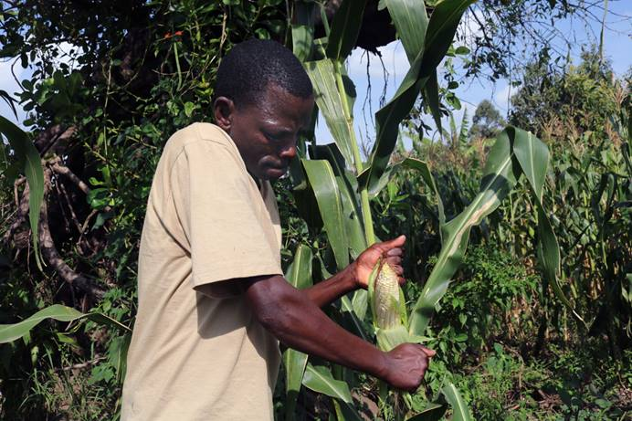 Husen Chacha, project supervisor of a farming project sponsored by Moheto First United Methodist Church in Kenya's Migori County, removes the husk from maize to demonstrate the quality of his plants. The church's partnership with Pannar Seed Company has helped farmers improve their crops. The church also is offering training in new farming techniques and extension services. Photo by Gad Maiga, UM News.