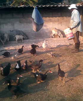The Rev. Zebediah Marewangepo feeds poultry and goats at his home in Harare, Zimbabwe. Photo by Chenayi Kumuterera, UM News.